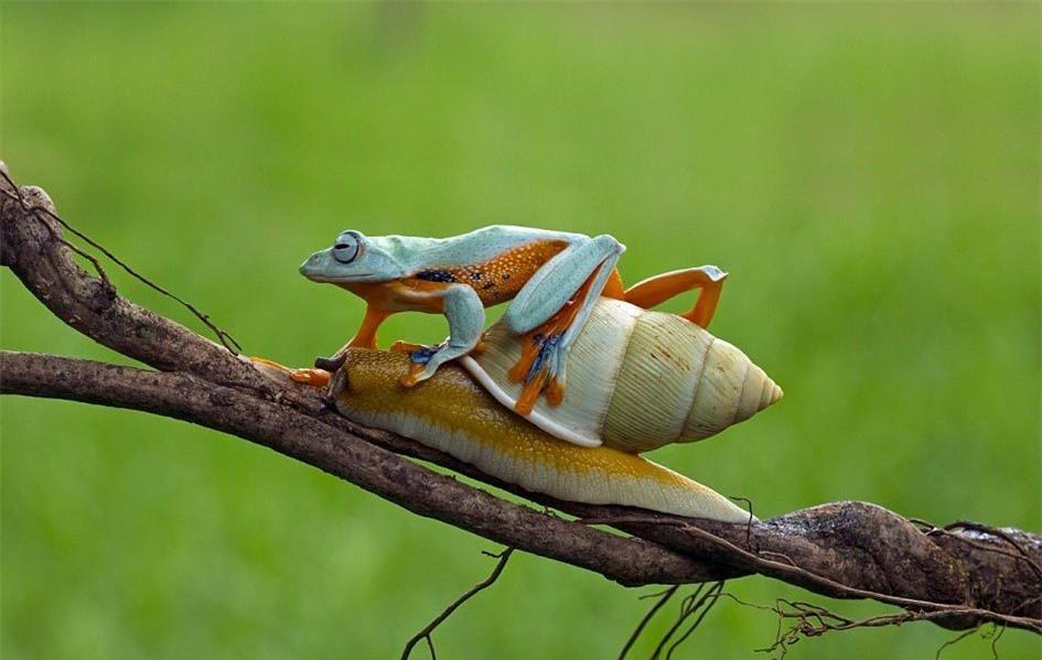 Ếch lười biếng cưỡi ốc sên trèo cây