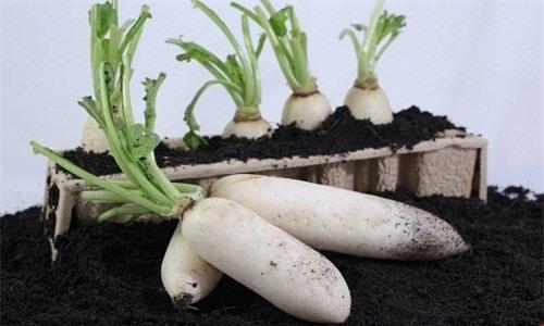 Kỹ thuật trồng củ cải trắng không quá khó