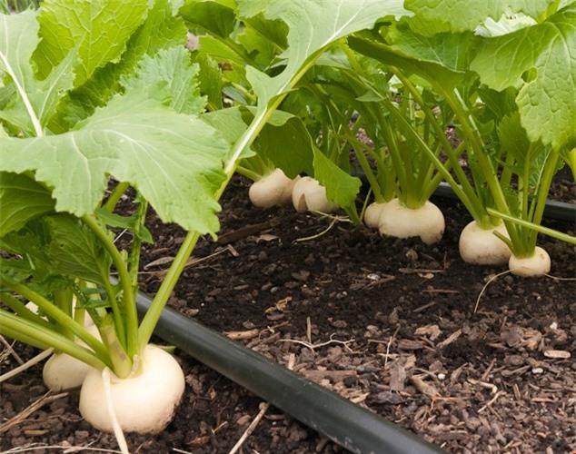Củ cải trắng sinh trưởng mạnh, gieo trồng được quanh năm