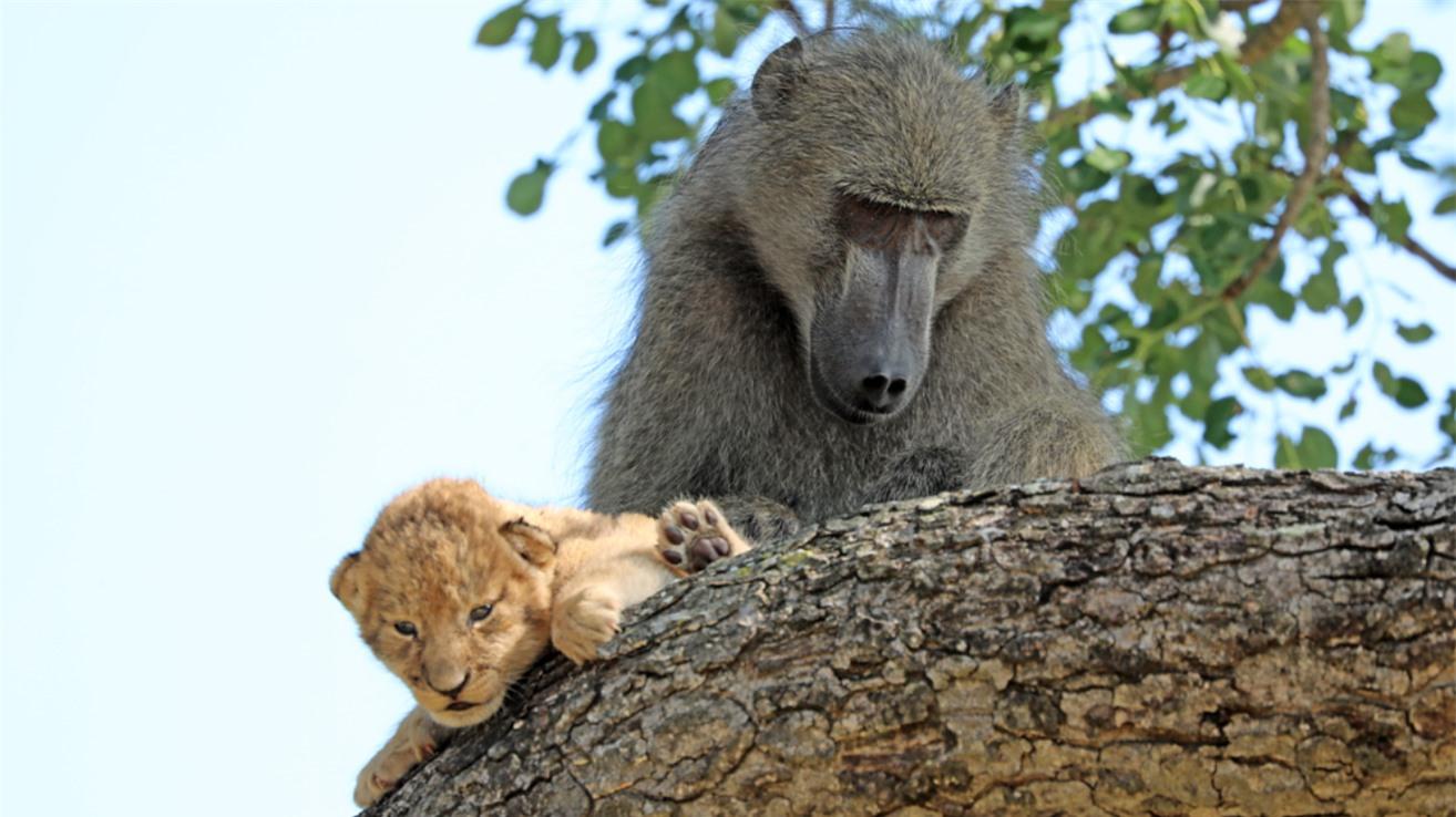 Khỉ đầu chó cắp sư tử con, tái hiện cảnh phim 'Vua sư tử' gây thích thú