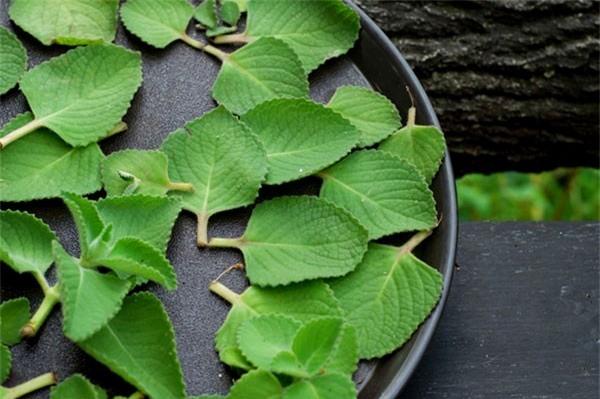 Cây húng chanh có rất nhiều lợi ích mà kỹ thuật trồng cây lại rất đơn giản