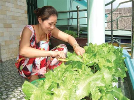 Người thành thị áp dụng các kỹ thuật trồng cây rau xà lách sạch tại nhà