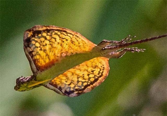 Kỳ lạ loài thằn lằn có khả năng bay như rồng - 1