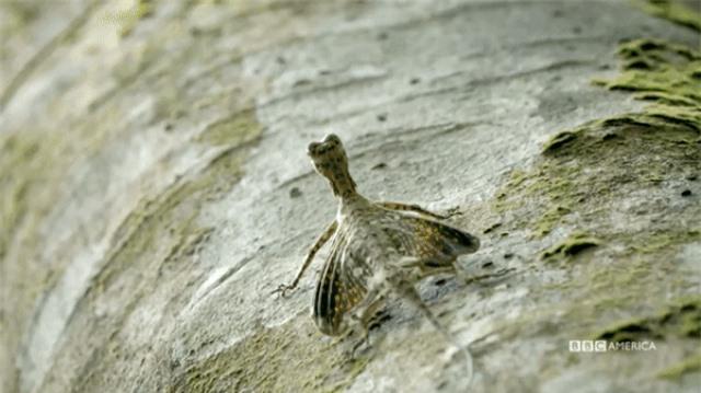 Kỳ lạ loài thằn lằn có khả năng bay như rồng - 4