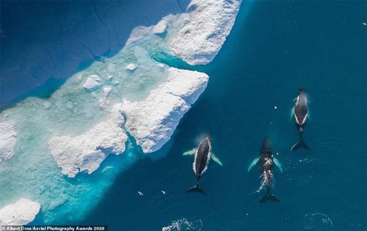 Khung cảnh từ trên cao đầy ngoạn mục ghi lại hình ảnh 3 chú cá voi lưng gù trên Vịnh Disko, Greenland của nhiếp ảnh gia Hà Lan Albert Dros.