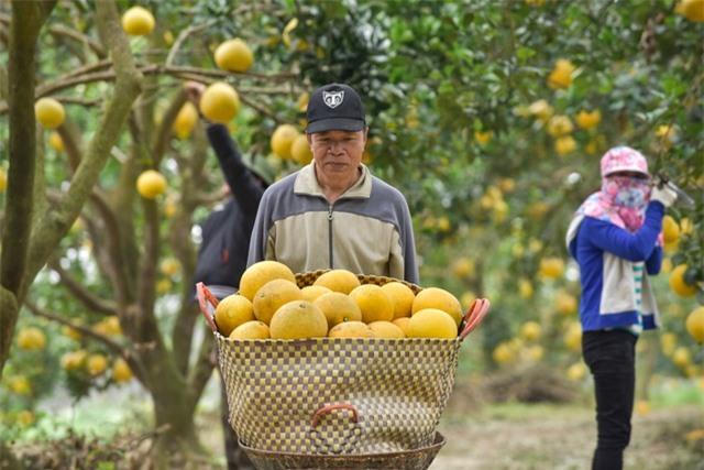 Anh nông dân thu 5 tỷ đồng mỗi năm nhờ 3.000 gốc bưởi Diễn - 3