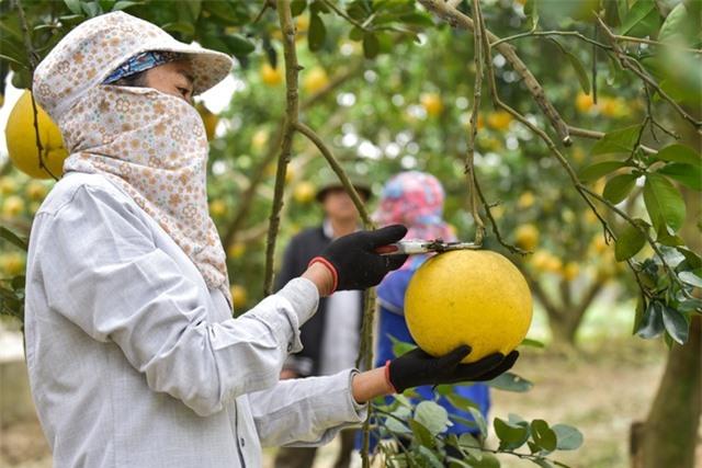 Anh nông dân thu 5 tỷ đồng mỗi năm nhờ 3.000 gốc bưởi Diễn - 4