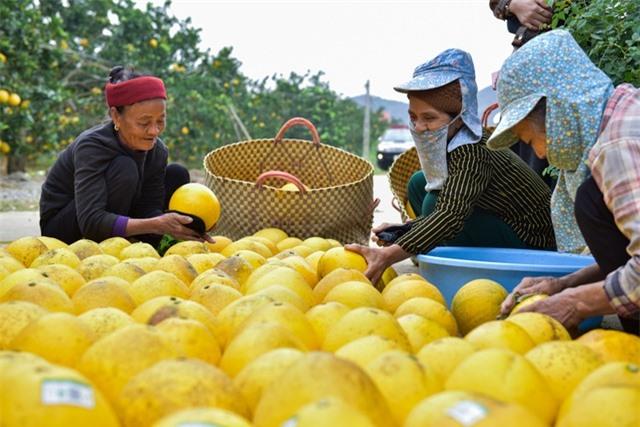 Anh nông dân thu 5 tỷ đồng mỗi năm nhờ 3.000 gốc bưởi Diễn - 5