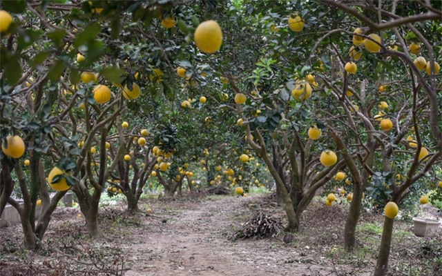 Anh nông dân thu 5 tỷ đồng mỗi năm nhờ 3.000 gốc bưởi Diễn - 6