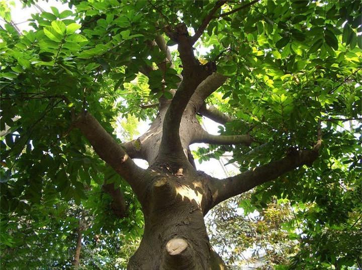 Ở Việt Nam cây Sui mọc nhiều ở vùng miền núi phía Bắc