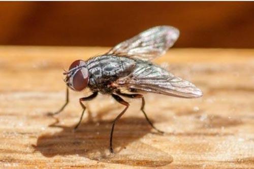 Bỏ túi những mẹo đuổi ruồi cực kỳ đơn giản mà hiệu quả