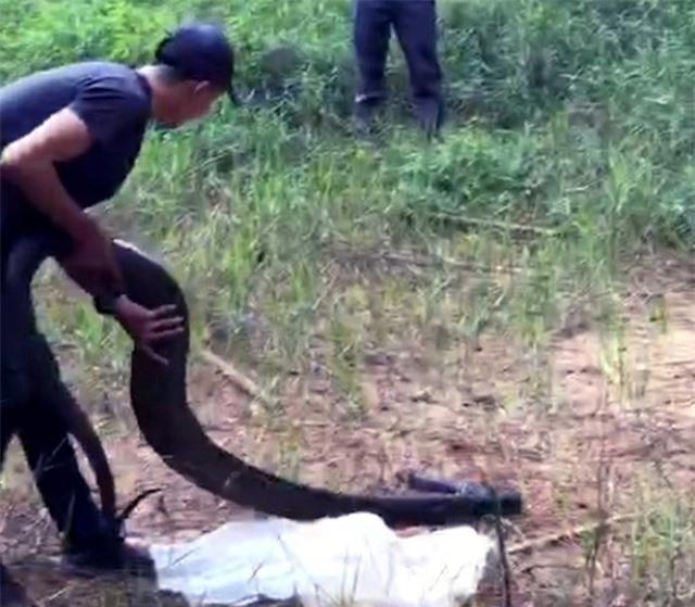 Khởi tố đối tượng vận chuyển rắn hổ mang chúa khủng nặng 21kg - 1