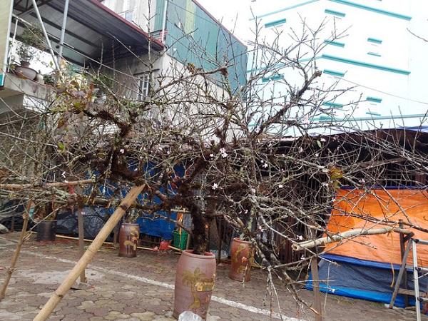 Đào rừng được bày bán trên các tuyến phố của Hà Nội mỗi dịp Tết đến xuân về.
