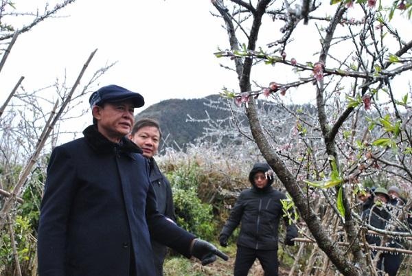 Thứ trưởng Thường trực Bộ Nông nghiệp và Phát triển nông thôn Hà Công Tuấn thăm vườn đào của hộ dân ở Ô Quý Hồ (Sa Pa).