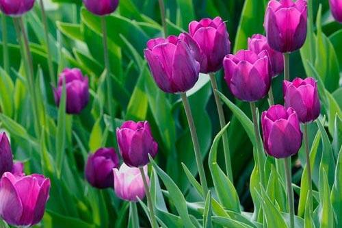 Kỹ thuật trồng và chăm sóc cây hoa tulip nở đúng dịp Tết