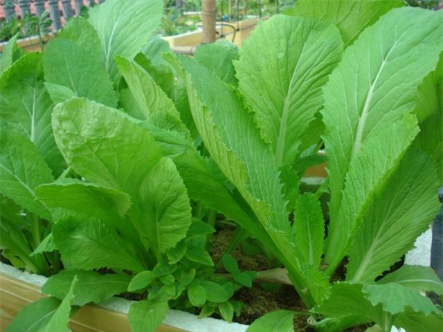 Kỹ thuật trồng rau cải tại nhà không quá khó