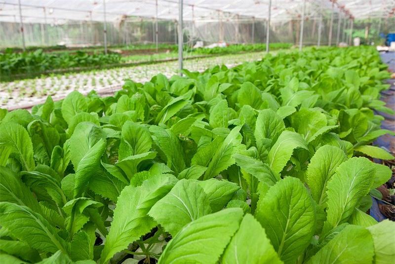 Chỉ cần chút kỹ thuật trồng và chăm sóc rau sẽ cho thu hoạch cao nhất