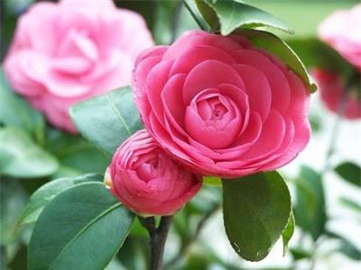 Hoa trà là loài cây trồng rất khó nên đòi hỏi bạn phải kiên nhẫn.