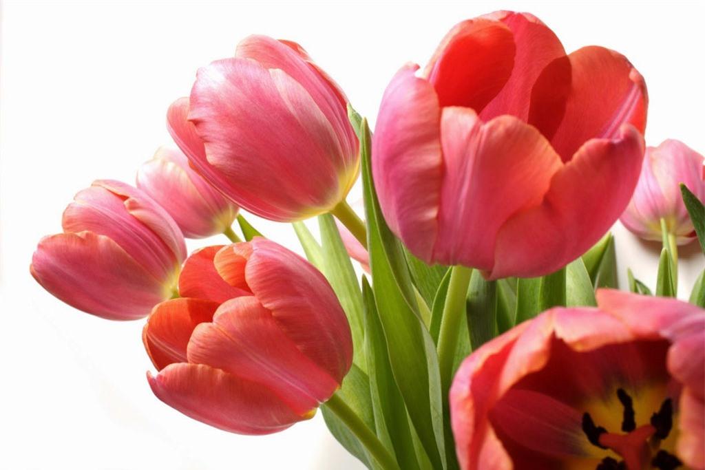 Hoa tulip có nguồn gốc từ Châu Âu, được trồng nhiều ở Hà Lan. Ảnh minh họa