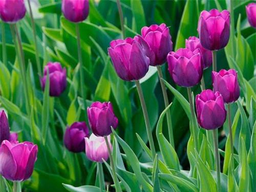 Để hoa tulip luôn tươi và nở đúng dịp Tết cần phải chú ý tới khâu bón thúc. Ảnh minh họa