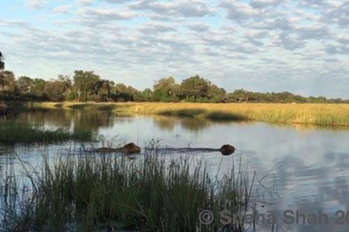 Sư tử xuống sông, chết hụt trước hàm cá sấu
