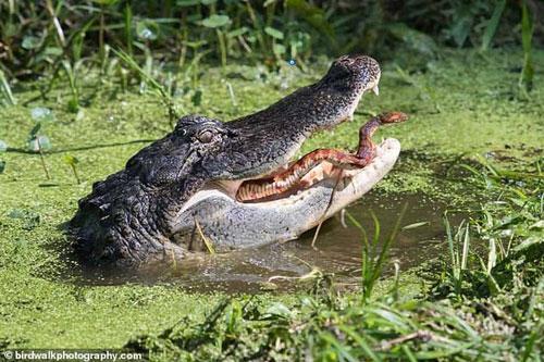 Rắn vùng vẫy thoát khỏi bộ hàm sắc nhọn của cá sấu đói và cái kết nghẹt thở