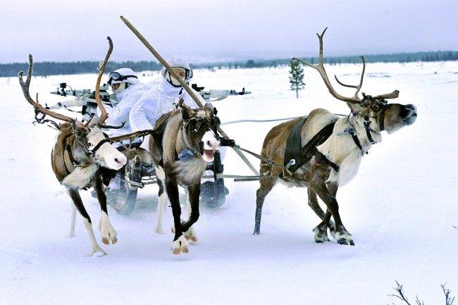 Động vật hoàn toàn có thể sử dụng trong vai trò quân sự tại vùng cực. Ảnh: RG.