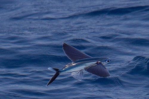 """Bí ẩn nơi có loài cá """"thần"""", vừa biết bơi vừa biết bay trên mặt nước"""