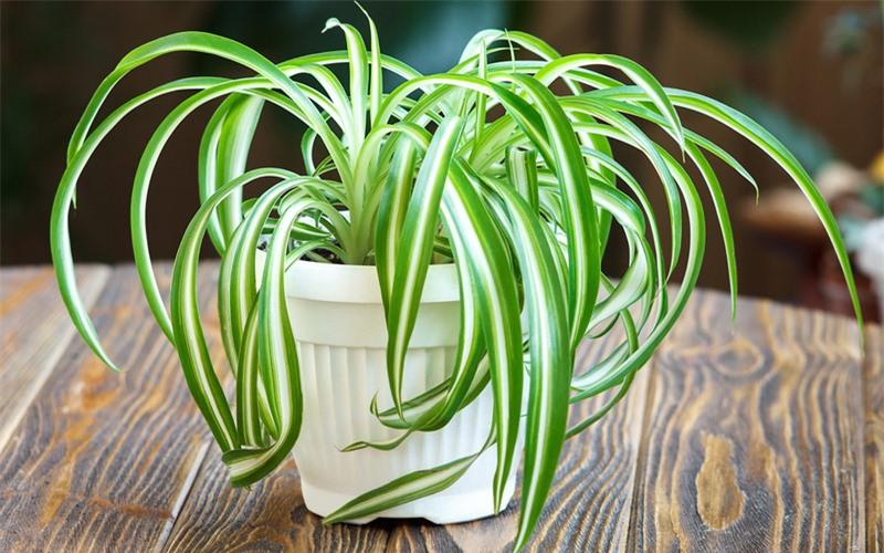 Cỏ lan chi hay cây dây nhện/ điếu lan có nguồn gốc từ Nam Phi