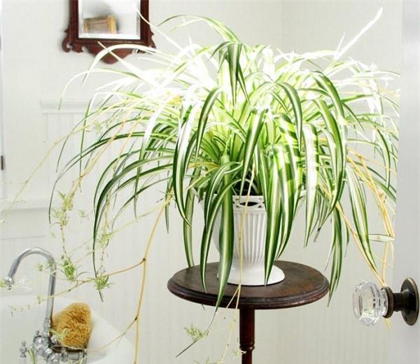 Cây cỏ lan chỉ có hình dáng bắt mắt, giúp việc trang trí nhà trở nên dễ dàng hơn