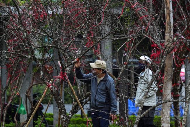 """Truy xuất nguồn gốc cây đào: Lợi cho dân, nâng cao giá trị cho cây """"đào rừng"""" ."""