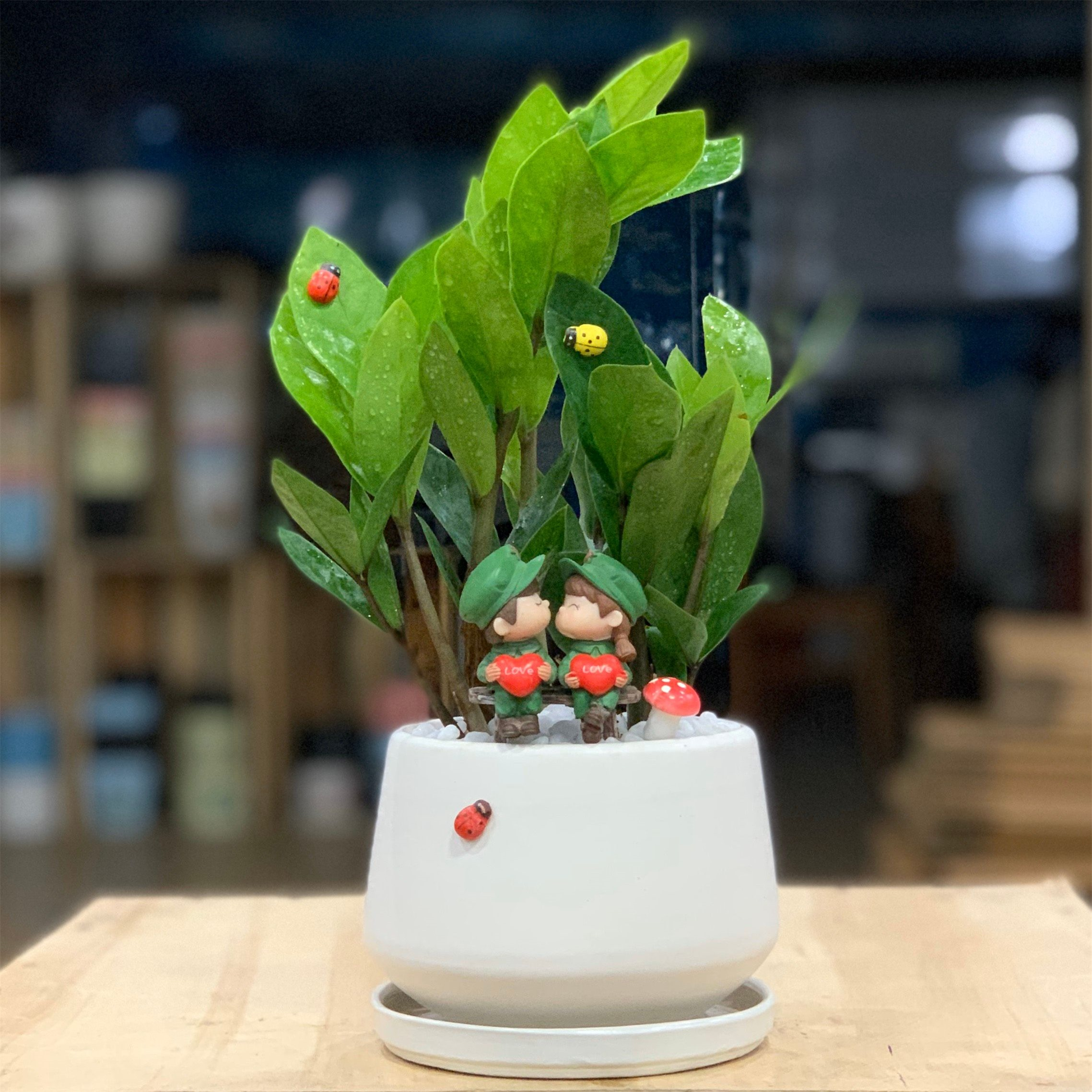 Cây Kim Tiền mini để bàn (cây Kim Phát Tài) (cây, chậu gốm, đĩa ...