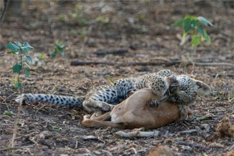 """Sau khi được mẹ tha lôi """"chiến lợi phẩm"""" về, một con báo đốm con cũng bắt đầu """"cuộc chiến"""" của mình."""