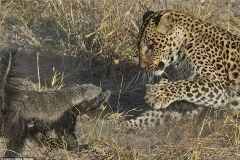 Những tưởng sẽ có một bữa ăn ngon lành, nhưng báo đốm không ngờ rằng mình đang gặp phải một đối thủ đáng gờm.