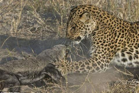Những hình ảnh ấn tượng này được nhiếp ảnh gia động vật hoang dã người Hà Lan, Vincent Grafhorst, 40 tuổi, chụp ở Botswana, châu Phi.