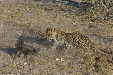 """Nhiếp ảnh gia chia sẻ về cuộc chiến man rợ của hai con vật: """"Con lửng dường như không bị thương nhưng báo đốm rõ ràng đã bị trọng thương""""."""
