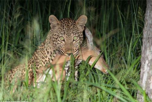 Sư tử trộm con mồi của báo đốm trên cây cao