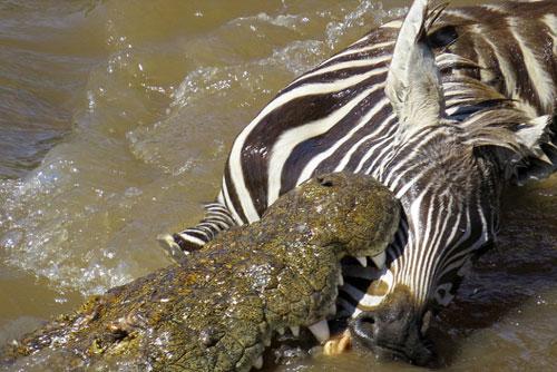 Chiêm ngưỡng cú đớp chết chóc của cá sấu