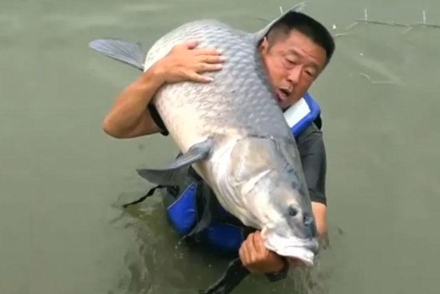Cận cảnh màn 'kéo co' của cần thủ với cá trắm đen nặng gần 75kg