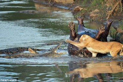 Tranh giành xác hà mã, sư tử đại chiến với cá sấu