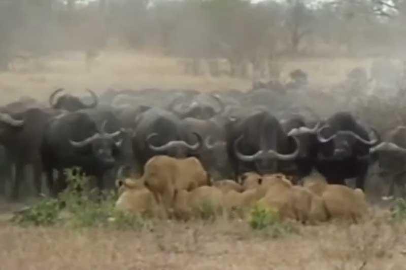 Đàn trâu rừng kéo nhau đi 'trả thù' sau khi chứng kiến nghé con bị sư tử ăn thịt