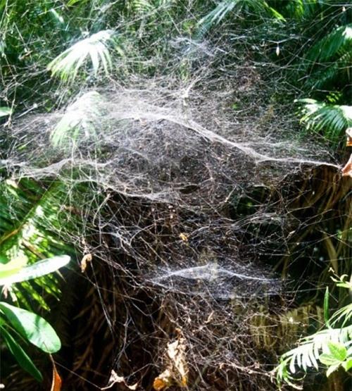 Nhiều loài nhện độc tụ tập ở đây