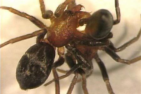 Tại sao nhện cái ăn thịt bạn tình trước khi giao phối?