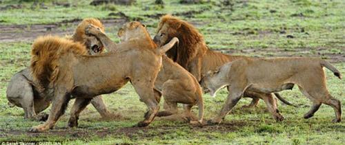 Sư tử cái tát sư tử đực ngã ngửa