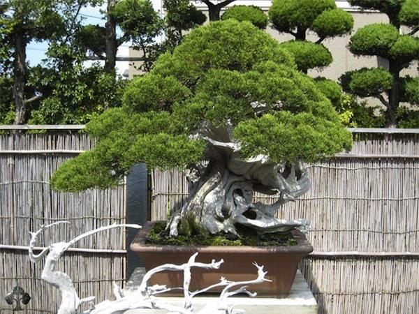 Top 10 cây Bonsai đẹp nhất thế giới - Ảnh 10.