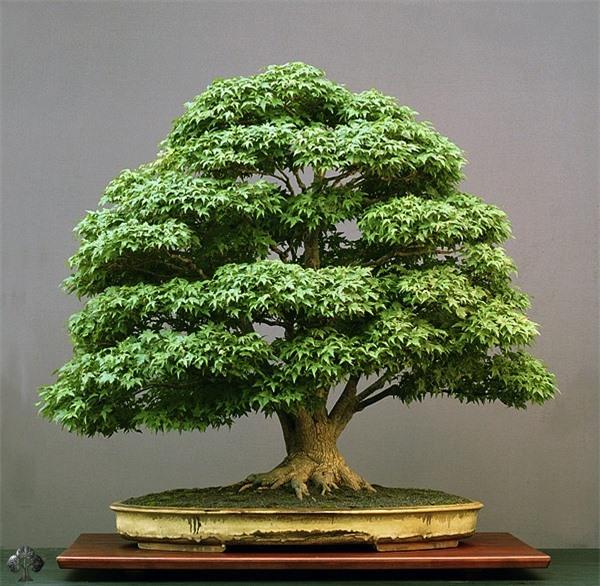 Top 10 cây Bonsai đẹp nhất thế giới - Ảnh 9.