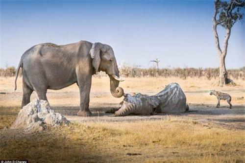 Voi cái ôm ngà voi đực đã chết hàng giờ - 1
