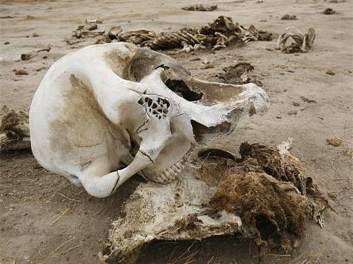 Voi cái ôm ngà voi đực đã chết hàng giờ - 2