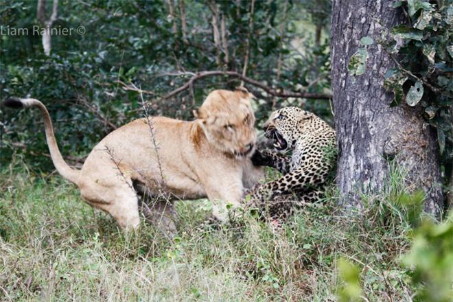 Khoảnh khắc kinh hoàng của báo hoa mai khi bị sư tử bất ngờ tập kích - Ảnh 1.
