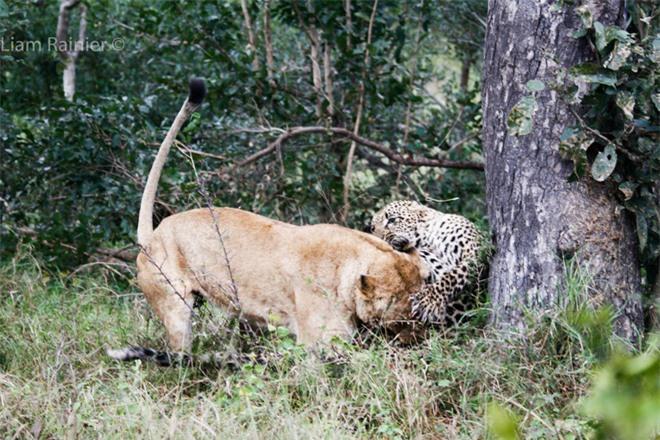 Khoảnh khắc kinh hoàng của báo hoa mai khi bị sư tử bất ngờ tập kích - Ảnh 2.